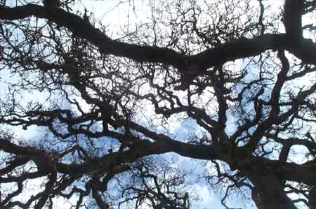 up through the oak tree